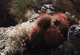 death valley cactus 2