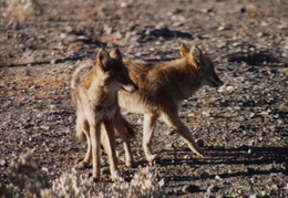 death valley coyotes