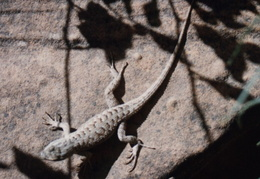 death valley lizard