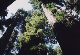 yosemite redwoods 04