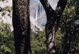 yosemite trees and yosemite falls