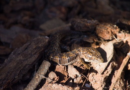 alligator lizard nov 2012 06