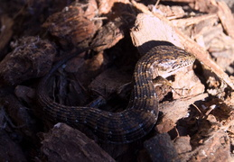 alligator lizard nov 2012 07