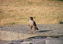 coopers hawk by pool july 2014 2