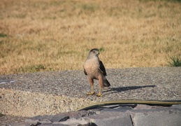 coopers hawk by pool july 2014 3