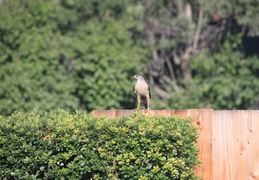 coopers hawk by pool july 2014 4