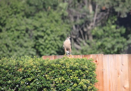 coopers hawk by pool july 2014 5