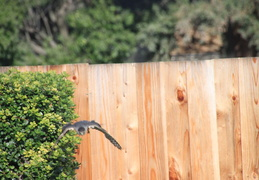 coopers hawk by pool july 2014 6