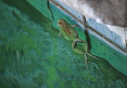 frog in pool march 2010 01