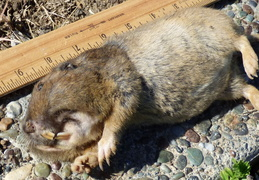gopher kill march 26th 2015 backyard 8