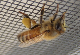 honeybee on screen 2011 02