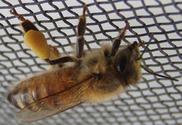 honeybee on screen 2011 05