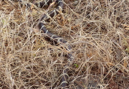 king snake by mailbox may 2014 3