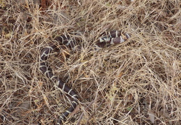 king snake by mailbox may 2014 5