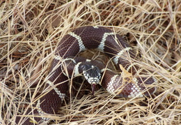 king snake by mailbox may 2014 7