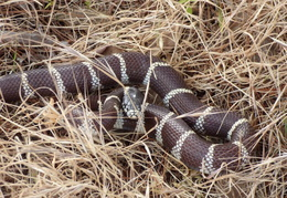 king snake by mailbox may 2014 8