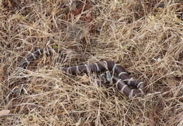 king snake by mailbox may 2014 9