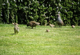 quail on front lawn aug 2007 02