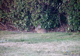 rabbit in backyard august 2012 01