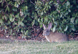 rabbit in backyard august 2012 02