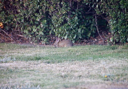 rabbit in backyard august 2012 03