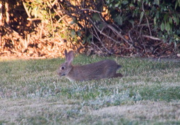 rabbit in backyard august 2012 04
