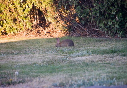 rabbit in backyard august 2012 05