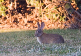 rabbit in backyard august 2012 07