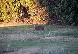 rabbit in backyard august 2012 08