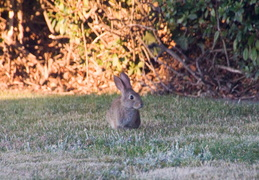 rabbit in backyard august 2012 09