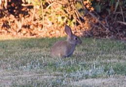 rabbit in backyard august 2012 10