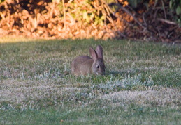rabbit in backyard august 2012 11