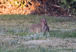 rabbit in backyard august 2012 12