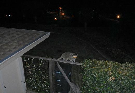 raccoon on fence june 2012 01