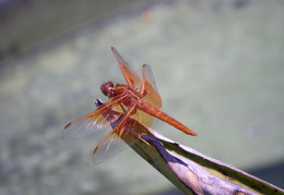 red dragonfly june 2009 0002