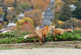 red foxes in backyard nov 2009 0002