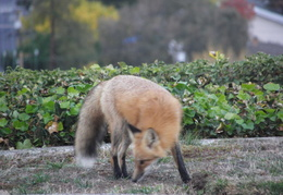 red foxes in backyard nov 2009 0005