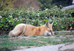 red foxes in backyard nov 2009 0007