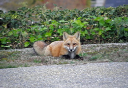 red foxes in backyard nov 2009 0013