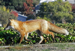 red foxes in backyard nov 2009 0023