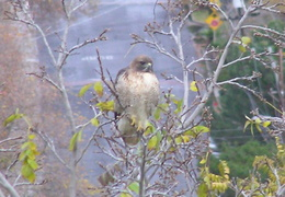 red tailed hawk dec 2006 02