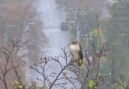red tailed hawk dec 2006 05