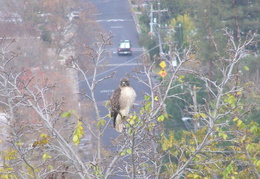red tailed hawk dec 2006 09
