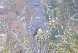 red tailed hawk dec 2006 10