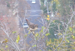 red tailed hawk dec 2006 11