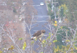 red tailed hawk dec 2006 12