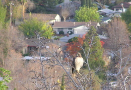 red tailed hawk dec 2006 16