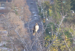 red tailed hawk dec 2006 17