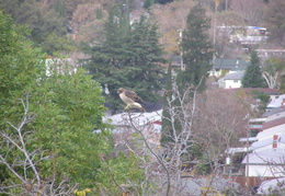 red tailed hawk dec 2006 20