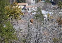 red tailed hawk feb 2012 01